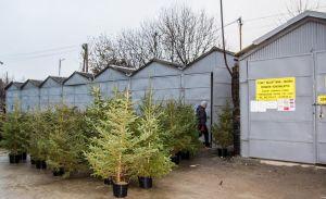 Zdjęcie przedstawia drzewka świąteczne w donicy