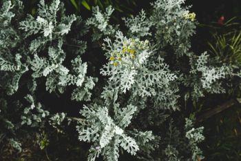 Bylica stellera