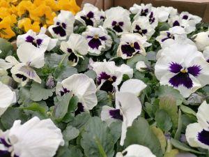 Zdjęcie przedstawia sadzonki biało-fioletowych bratków