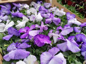 Zdjęcie przedstawia sadzonki fioletowych bratków