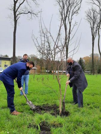 Zdjęcie przedstawia Burmistrza Miasta i Gminy Busko-Zdrój Waldemara Sikorę oraz Jego Zastępcę Michała Marońskiego sadzących jedno z drzew miododajnych - klon tatarski