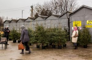 Zdjęcie przedstawia mieszkańców Buska-Zdroju wybierających świąteczne drzewko